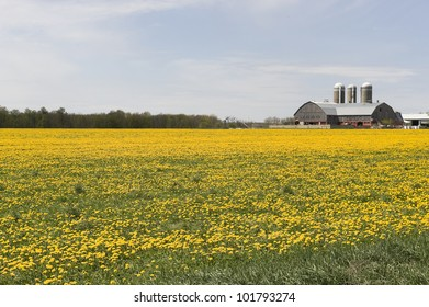 bright yellow field of blooming dandelions in the country