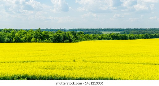 Bright yellow field of oilseed rapeseed. Field of rapeseed with dark stripe of plowed land in foreground and forest on background. Use for text, as natural background, landscape flowers concept.