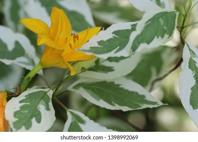 A bright yellow flower of daylily between green with white leaves of dogwood