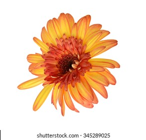 Bright yellow flower with dew drops on petals isolated on a white background. The exact name of a plant: Calendula arvensis.