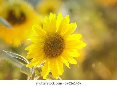 the bright yellow flower of a sunflower is growing on the field