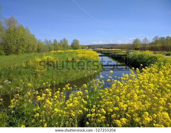 Bright yellow flowering brassica along a ditch in Dutch countryside. Moraine hills of the Utrechtse Heuvelrug in background.