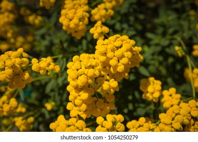 Bright Yellow Flowers Blooming