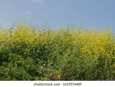Bright Yellow Flowers of Charlock or Wild Mustard (Sinapis arvensis) in a Hedgerow in the Gardens at Tremenheere in Rural Cornwall, England, UK