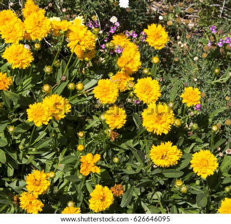 Bright yellow flowers coreopsis genus flowering stock photo edit bright yellow flowers of coreopsis a genus of flowering plants in the family asteraceae also mightylinksfo
