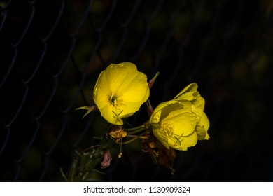 Bright yellow flowers of an evening primrose in front of a chainlink fence with dark background