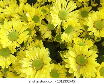 Bright yellow flowers in the garden