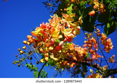 Bright yellow flowers of the Golden Shower tree (Cassia fistula)