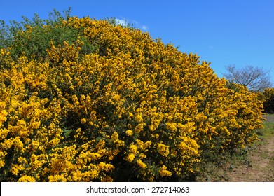 Bright Yellow Flowers of Gorse (Ulex) in the Countryside of Devon, England, UK