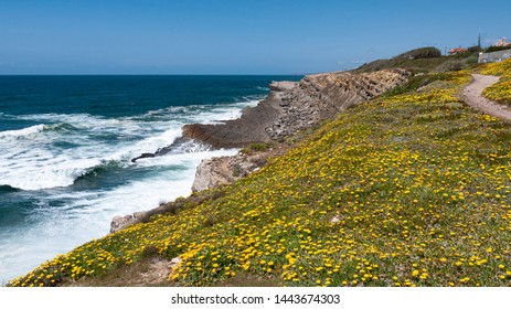Bright yellow flowers growing at a cliff top along a coastal walk in Praia das Maçãs, Portugal. Taken on a sunny summer day with blue skies.