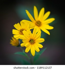 Bright yellow flowers of Jerusalem artichoke (Helianthus tuberosus) with a blurred and soft background