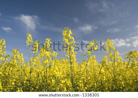 Bright yellow flowers this popular british stock photo edit now bright yellow flowers of this popular british crop seen in the early summer mightylinksfo