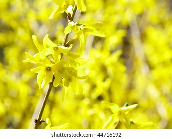 Bright yellow forsythia branches blooming in spring