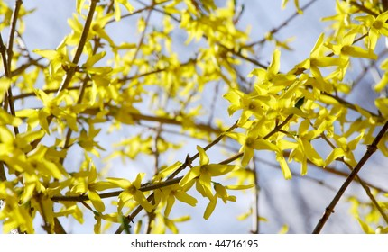 Bright yellow forsythia branches blooming in spring, against a blue sky