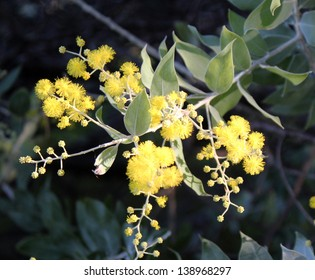 Bright yellow fragrant  fluffy  balls of Cootamundra wattle acacia species  flowering in late autumn add color to the Australian bush  landscape.