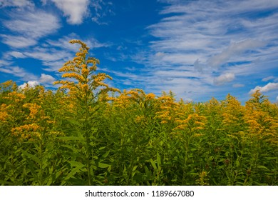 Bright yellow goldenrod (Solidago species) on a hill with a vibrant blue sky with clouds