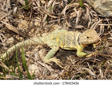 Bright yellow and green lizard basking in the sun - Eastern Collared Lizard, Crotaphytus collaris