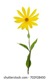 Bright yellow Jerusalem artichoke flower (topinambur) with green leaves isolated on a white background
