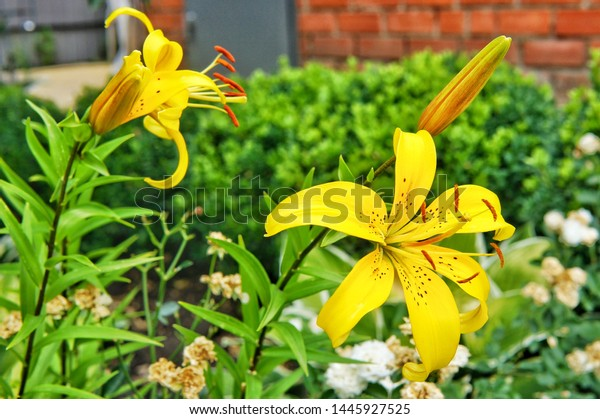 Bright Yellow Lilies Bloom Summer Garden Stock Photo Edit Now