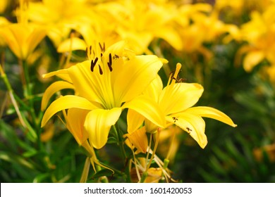 The bright yellow lilies with a pistil and brown stamens