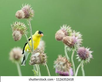 Bright yellow male American goldfinch (Spinus tristis) perched on thistle plant to collect down for nest and to eat seeds