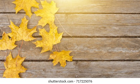 Bright yellow maple autumn leaves on old wooden background. Great season texture with fall mood. Nature september and october background with copy space.