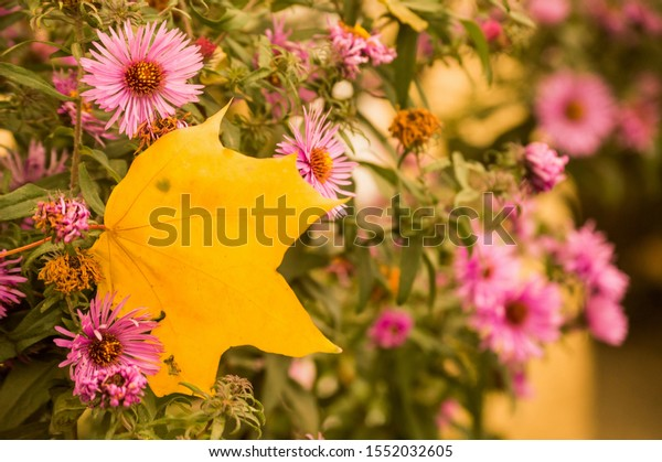bright-yellow-maple-leaf-among-600w-1552