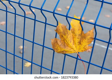 a bright yellow maple leaf stuck in the mesh of the metal blue fence. Horizontal photo, soft focus. The idea - autumn has come.