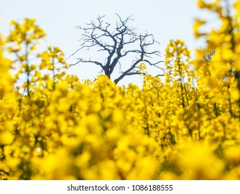 Bright yellow oilseed rape meadow and old tree in the springtime in Herefordshire, England