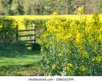 Bright yellow oilseed rape meadows and a country stile for the public footpath in the springtime in Herefordshire, England