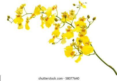 bright yellow Oncidium orchid; whole flowering spike; isolated on white background