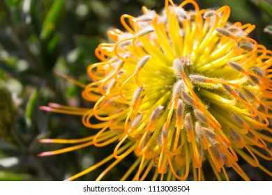 Bright yellow and orange blooming Leucospermum flower- also known as limestone pincushion- a native of South Africa.