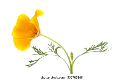 bright yellow and orange californian poppy isolated on white