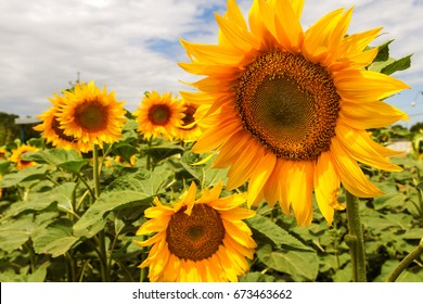 Bright yellow, orange sunflower flower on field. Beautiful rural landscape of  field in sunny summer day. Beautiful sunflower on farm field. grown as crop for its edible oil