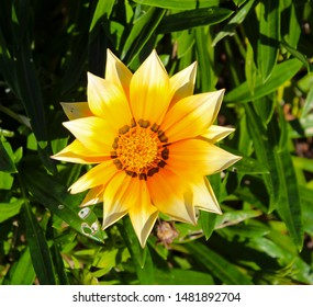 Bright yellow , pink, orange, cream  multi-colored and red hardy  gazania flowers in the family  Asteraceae brighten up the street verges on a sunny spring afternoon .