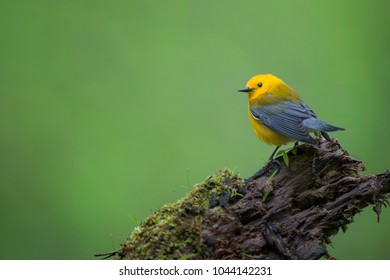 A bright yellow Prothonotary Warbler perches on a moss covered log deep in a swampy forest in soft overcast light.
