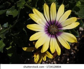 hellgelb und violett, ganzjährig in der Wüste