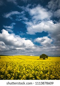 Bright yellow rapeseed canola field in full bloom ready for harvest. Tree in field with dramtic sky