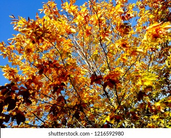 Bright yellow and red autumn leaves on Tree against sparkling blue sky.