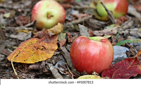 Bright Yellow And Red Fall Leaves With Ripe Bright Red And Green Honeycrisp Apples On Ground On A Farm In The Mountains Of South West Virginia