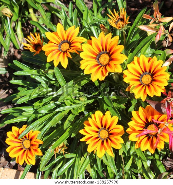 Bright yellow and red  gazania flowers brighten up the street verges on a cloudy autumn morning.