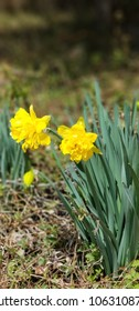 Bright yellow spring Easter flowers, also known as Jonquil or Daffodil flowers.