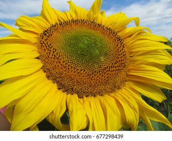 Bright yellow sunflower blossoms in the field