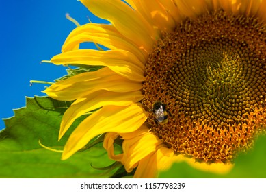 sunflower field landscape closeup countryside agriculture stock