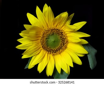 Bright yellow sunflower with green leaves on black background
