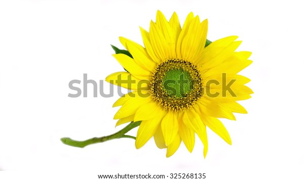 Bright yellow sunflower with green stem, isolated on white