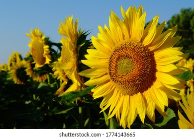 bright yellow sunflower heads with light blue background in bright summer sunlight. beauty in nature. botanical name Helianthus annuus. food production. rural scene. contrasting yellow and blue.