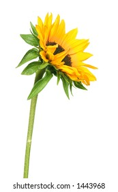 bright yellow sunflower isolated on white background.