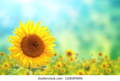 Bright yellow sunflower on blurred sunny background of green and blue color. Mock up template. Copy space for text