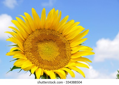 Bright yellow sunflower over blue sky.